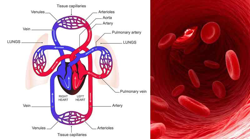 Blood circulatory system