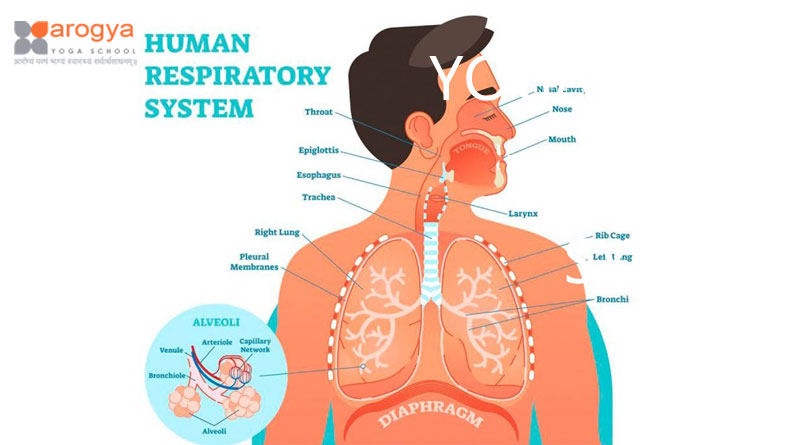 YOGA HELPS RESPIRATORY SYSTEM