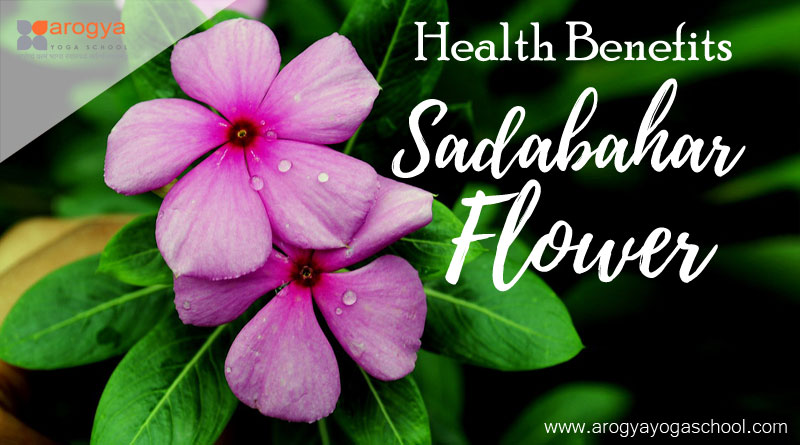 health benefits of sadabahar flower