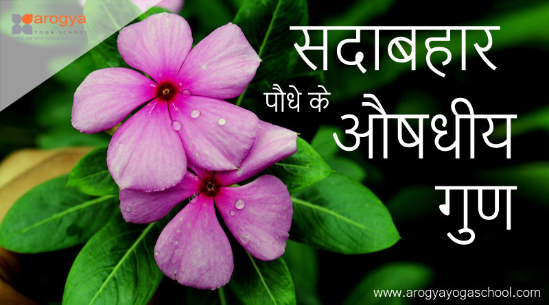 health benefits of sadabahar flower hindi